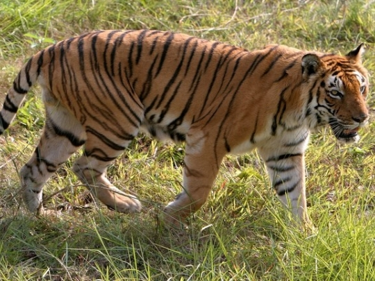 ZEjournal mobi - VIDEO of Indian bikers nearly becoming tiger's